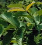 Daun Jambu Biji / Guava Leaf Powder 50 gr