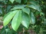 Daun Sirsak serbuk / Soursop Leaf Powder 50g